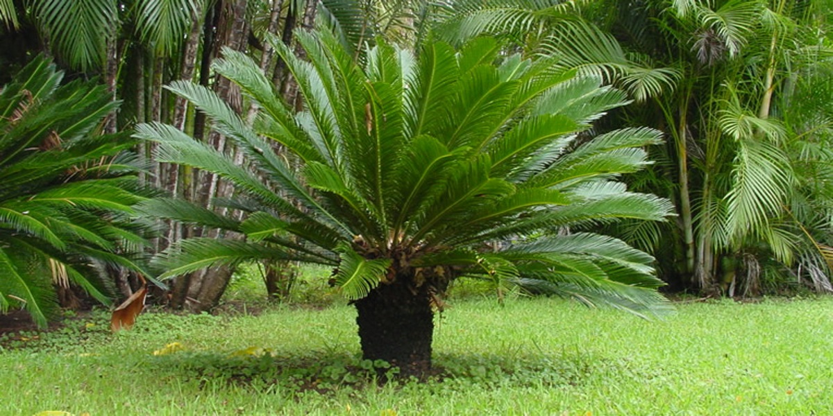 Palm Trees Pruning Propagation and Planting