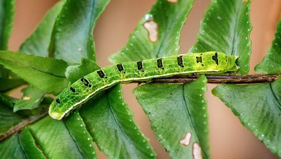 florida fern caterpillar